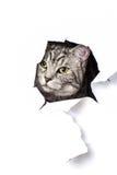 Zilveren Kat Stock Afbeeldingen
