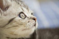 Zilveren kat Stock Fotografie