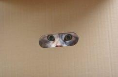 Zilveren kat in document vakje. Royalty-vrije Stock Afbeelding