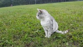 Zilveren kat op weide stock videobeelden