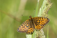 Zilveren Maan, Small Pearl-bordered Fritillary stock images