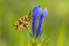 Zilveren maan; Small Pearl-bordered Fritillary; Boloria selene stock photo