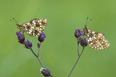 Zilveren Maan, Small Pearl-bordered Fritillary royalty free stock images