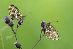 Zilveren Maan, Small Pearl-bordered Fritillary royalty free stock photo