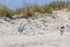 Zilveren meeuwen op Roemeens strand Stock Foto's