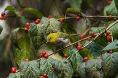 Zilveren ogenvogel Royalty-vrije Stock Fotografie