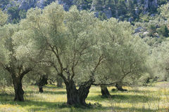 Zilveren olijfboom Stock Afbeeldingen