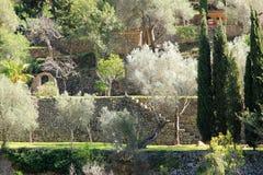 Zilveren olijvenbomen Royalty-vrije Stock Fotografie