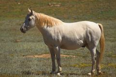 Zilveren Paard Appaloosa Royalty-vrije Stock Afbeeldingen