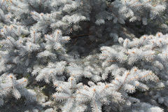 Zilveren pijnboomtakken stock foto's