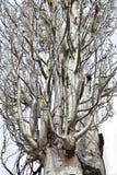 Zilveren populier in de lente Royalty-vrije Stock Fotografie
