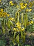 Zilveren Seneplant of Zilveren Kassieboom Stock Fotografie