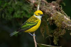 Zilveren-Throated Tanager in Costa Rica Stock Foto