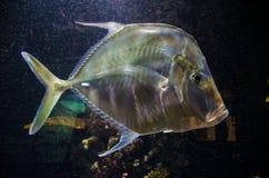 Zilveren tropische vissen naar beneden stock afbeelding