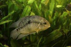 Zilveren Vissen Royalty-vrije Stock Foto
