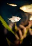 Zilveren vissen in aquarium stock afbeelding