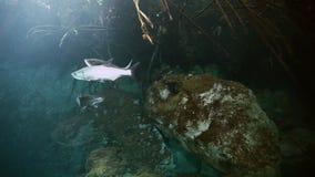 Zilveren vissen in Mexicaanse cenote van Yucatan van het struikmeer stock videobeelden