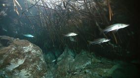 Zilveren vissen in Mexicaanse cenote van Yucatan van het struikmeer stock video