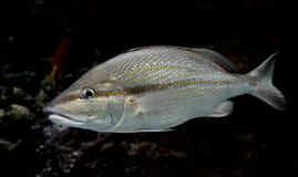 Zilveren vissen onderwater Stock Foto's