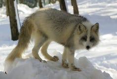 Zilveren vos royalty-vrije stock afbeelding