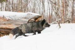 Zilveren vos op jacht Royalty-vrije Stock Afbeelding