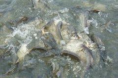 Zilveren weerhaakvissen in vijver Stock Foto's