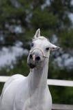 Zilveren wit Hanover paard Royalty-vrije Stock Afbeelding
