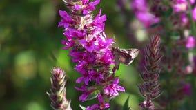 Zilveren y-mot, Autographa-gamma, die nectar van een purpere kattestaartbloem verzamelen in augustus in Schotland stock video