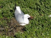 Zilveren zeemeeuw op nest Royalty-vrije Stock Foto