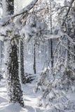 Zim śnieżni odziani drzewa w Szkocja Obraz Stock