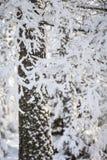 Zim śnieżni odziani drzewa w Szkocja Obrazy Royalty Free