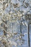 Zim śnieżni odziani drzewa w Szkocja Zdjęcie Royalty Free