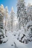 Zim śniegi zakrywający drzewa przeciw niebieskiemu niebu Obrazy Royalty Free