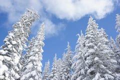 Zim conifers zakrywający w śniegu fotografia stock