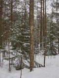 Zim drzewa w lesie Obraz Royalty Free
