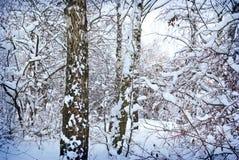 Zim drzewa zakrywający z śniegiem w lesie. Obraz Stock