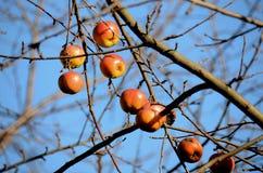Zim jabłka Zdjęcia Royalty Free