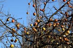 Zim jabłka Obraz Stock