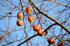 Zim jabłka Obraz Royalty Free