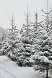 Zim jedlinowych drzew śnieg zakrywający tło Zdjęcia Stock