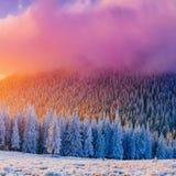 Zim krajobrazowi drzewa w mrozowy Karpackim, Ukraina, Europa Fotografia Stock