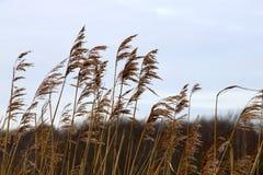 Zim ostrza trawy kiwanie w wiatrze Fotografia Stock
