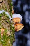 Zim pieczarek Flammulina velutipes, jadalne pieczarki obrazy stock