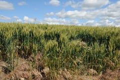 Zim pszeniczni pola zdjęcie stock