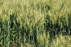 Zim pszeniczni pola obrazy royalty free