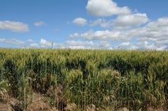 Zim pszeniczni pola obraz stock