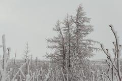 Zim puszyści śnieżyści drzewa, Norilsk obrazy stock
