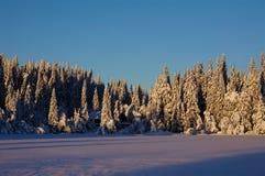 Zim sosny z śniegiem Zdjęcia Royalty Free