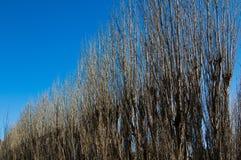 Zim Topolowi drzewa Obraz Royalty Free