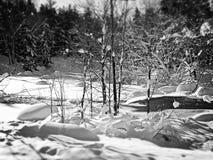 Zima ślaz fotografia stock